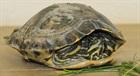 Sämy(0)Wasserschildkröte/Kleintiere