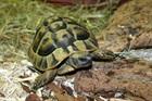 Landschildkröte()Griechische Landschildkröte/Kleintiere