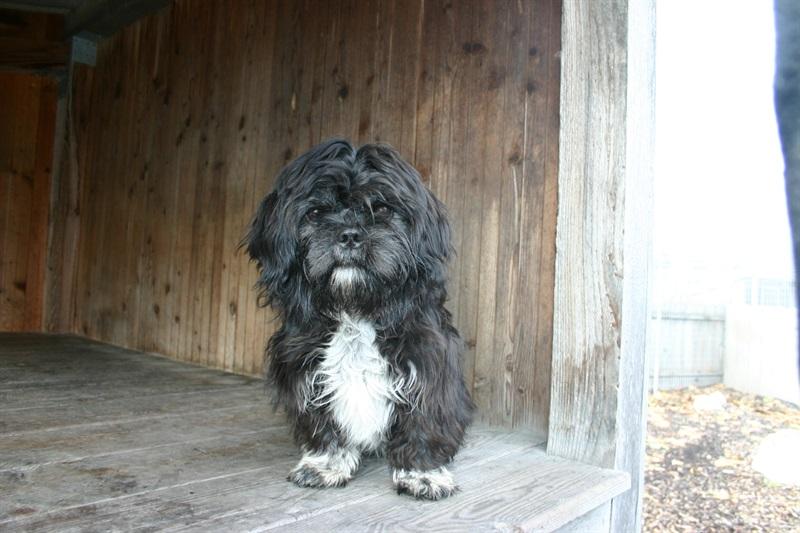 Bella(2012)Shih-Tzu/Hunde