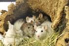 Candy, Cheesie, Chloé, Coco, Curly(2016)Ratten/Kleintiere
