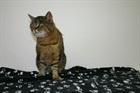 Tylor(2007)EHK (Europäische Hauskatze)/Katzen