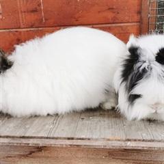 Sissi (li) und Franz (re)(2017)Kaninchen/Kleintiere