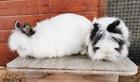 Sissi (li) und Franz (re) (2017)Kaninchen/Kleintiere