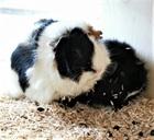 Trudi (tricolor), Bianca (schwarz mit weiss)(2020)Meerschweinchen/Kleintiere