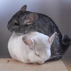 Wally und Gina(2007)Chinchilla/Kleintiere