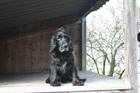 Blacky(2001)Cocker Spaniel/Hunde