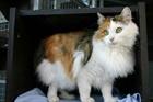 Fortuna(2010)EHK (Europäische Hauskatze)/Katzen