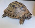 Landschildkröte aus Mauren(0)Landschildkröte/Kleintiere