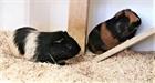 Ron (beige-schwarz), Amaretto (rot-schwarz(2020)Meerschweinchen/Kleintiere