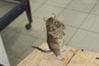 Degus(2008)Degus/Kleintiere