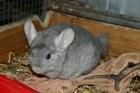 Schnüggerle (1992)Chinchilla/Kleintiere