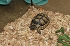Harry(0)Griechische Landschildkröte/Kleintiere