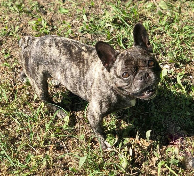 Chou-Chou (2012)Franz. Bulldogge Mischling/Hunde