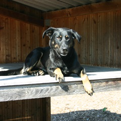 Nischa (2009)Schäfer-Berner-Sennenhund-Mischling/Hunde