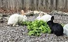 Linda, Lady und Cooper (schwarz)(0)Kaninchen/Kleintiere