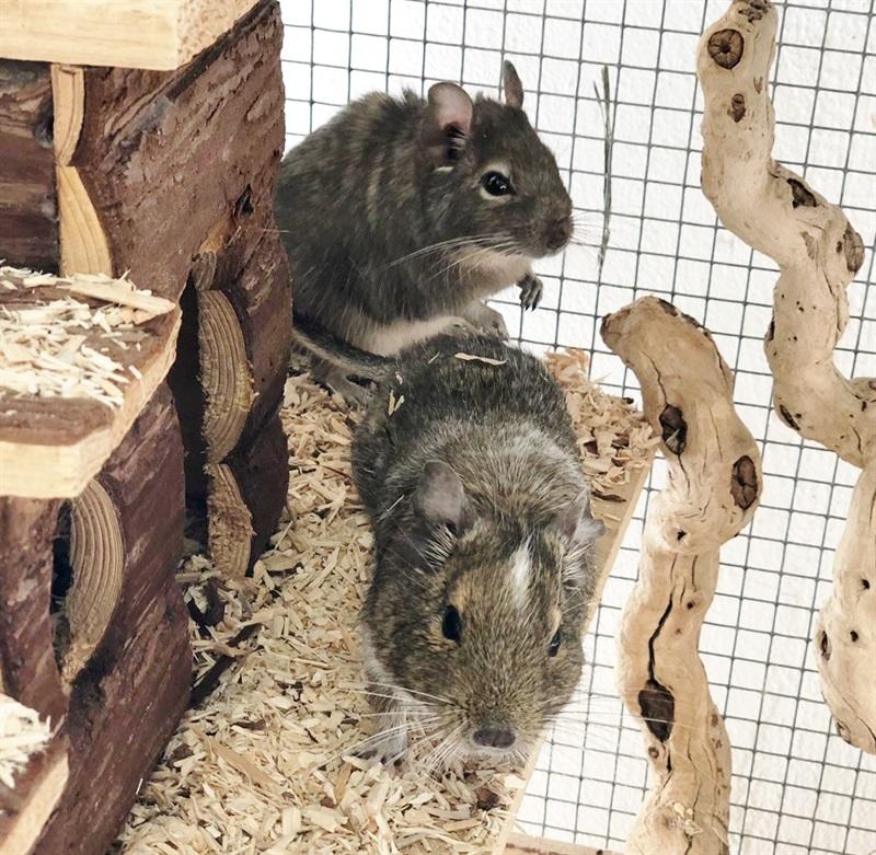 Kiwi 2017 und Jimmy 2015 (0)Degu/Kleintiere
