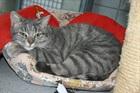 Strizzi(2011)EHK (Europäische Hauskatze)/Katzen