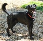 Dexter(2015)Labrador - Mischling/Hunde
