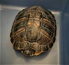 Gelbwangenschmuckschildkröte(0)Gelbwangenschmuckschildkröte/Kleintiere