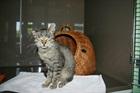 Diego (2012)EHK (Europäische Hauskatze)/Katzen