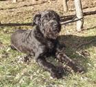 Paula (2003)Riesenschnauzer/Hunde