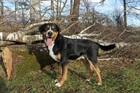 Cesar(2008)Schweizer Sennenhund/Hunde